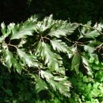 7buk lesní rohanii